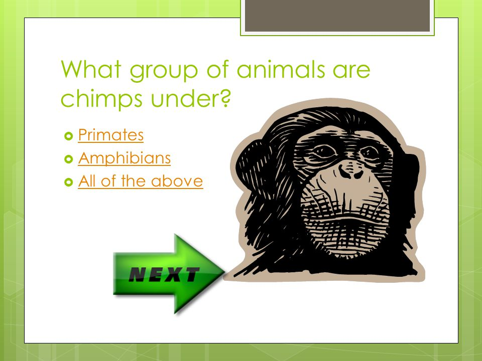 What group of animals are chimps under
