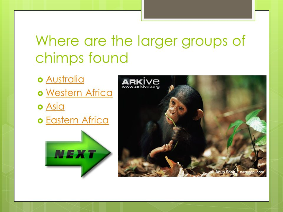 Where are the larger groups of chimps found