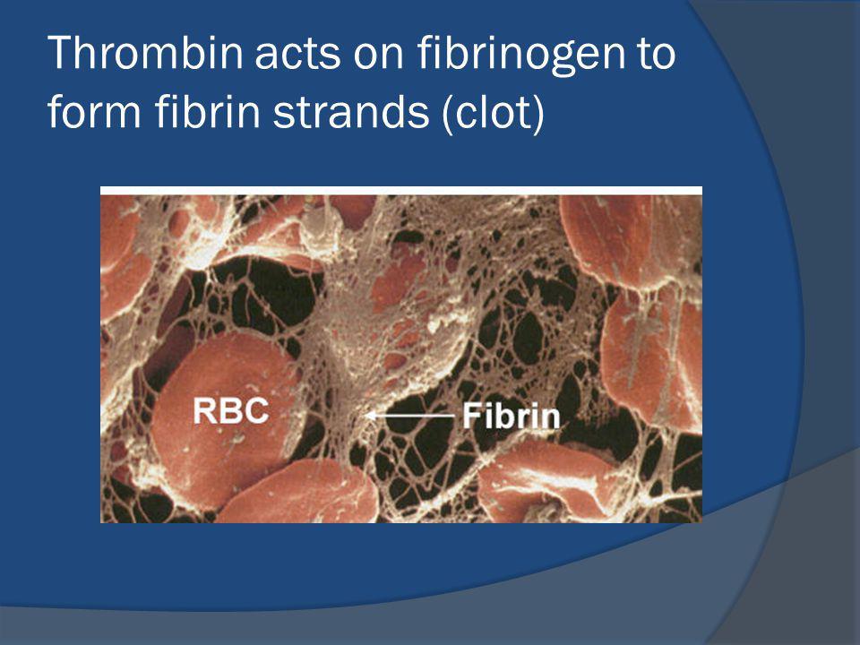 Thrombin acts on fibrinogen to form fibrin strands (clot)