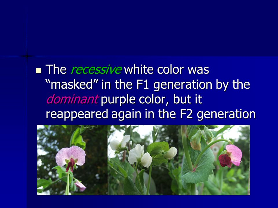 The recessive white color was masked in the F1 generation by the dominant purple color, but it reappeared again in the F2 generation