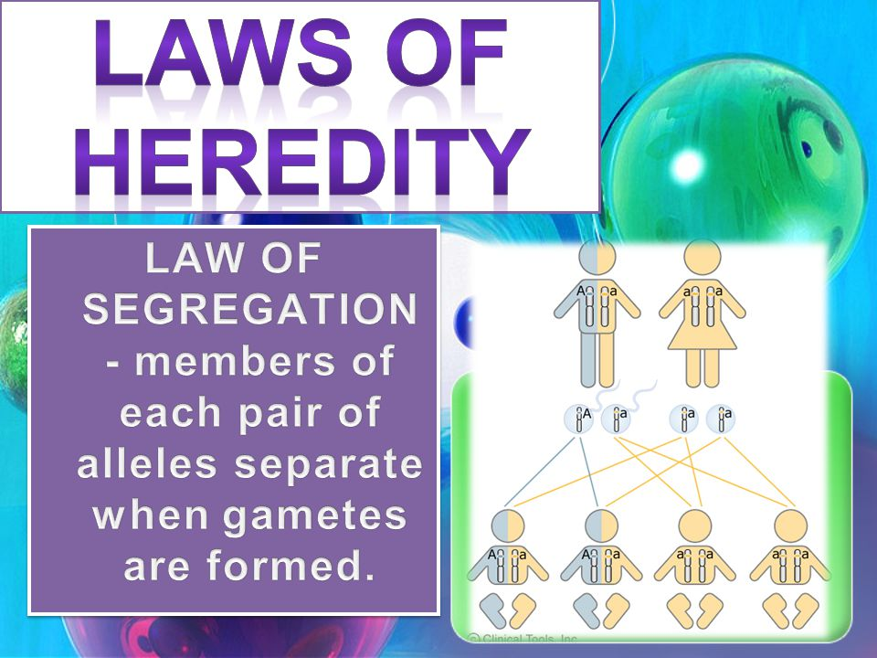 LAWS OF HEREDITY LAW OF SEGREGATION - members of each pair of alleles separate when gametes are formed.