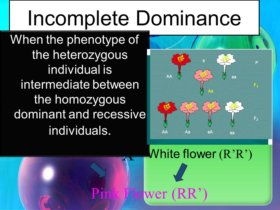 Incomplete Dominance X Pink Flower (RR')