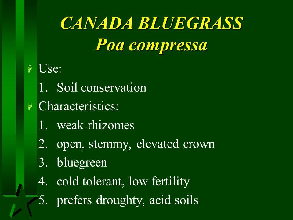 CANADA BLUEGRASS Poa compressa