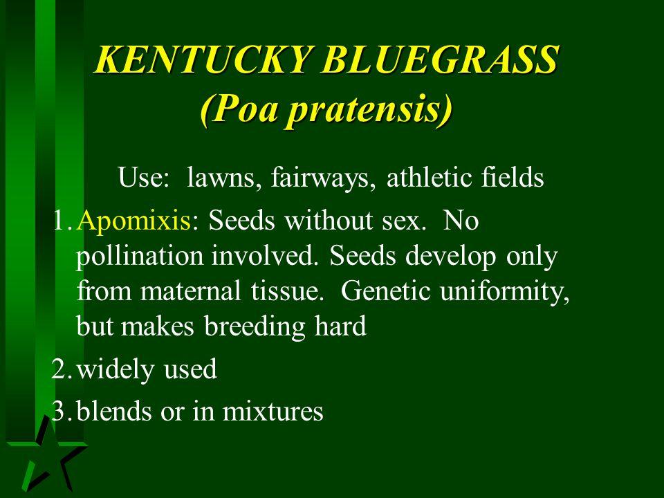 KENTUCKY BLUEGRASS (Poa pratensis)