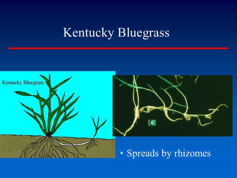 Kentucky Bluegrass Spreads by rhizomes