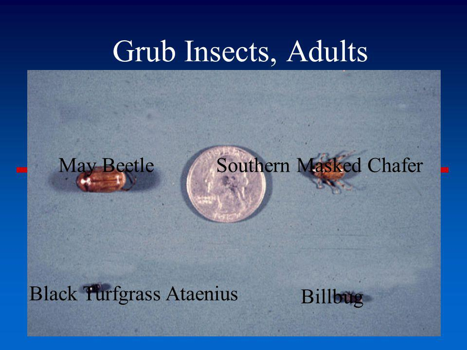 Grub Insects, Adults May Beetle Southern Masked Chafer