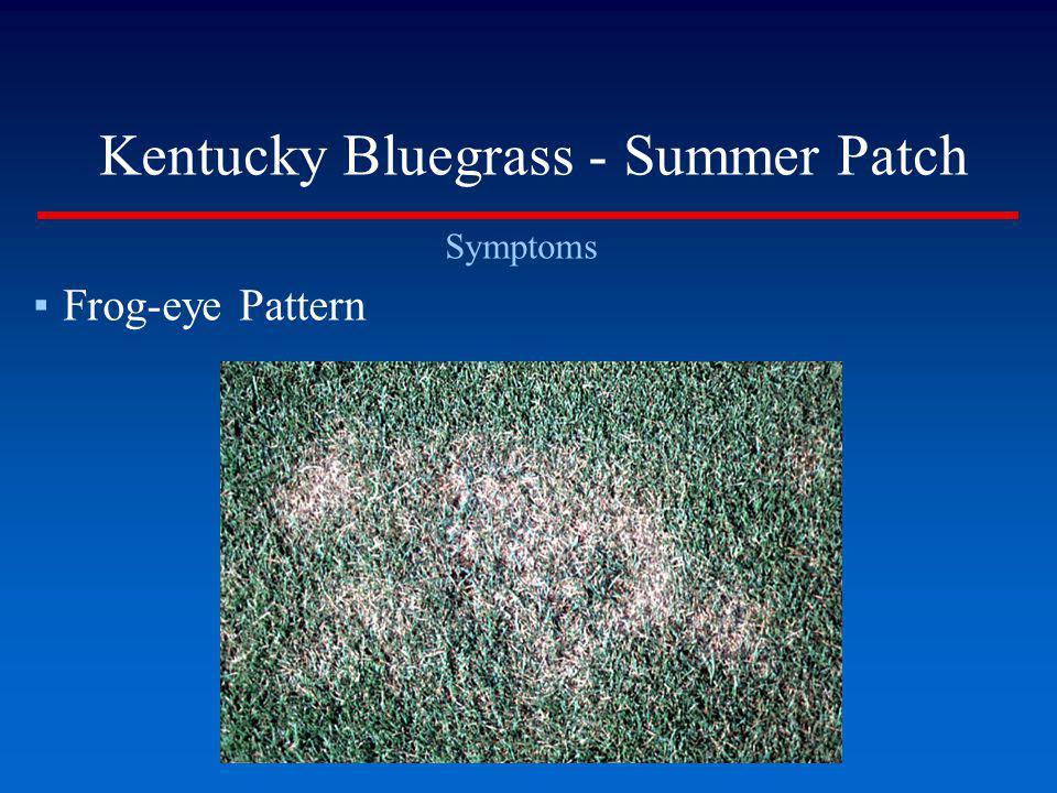Kentucky Bluegrass - Summer Patch
