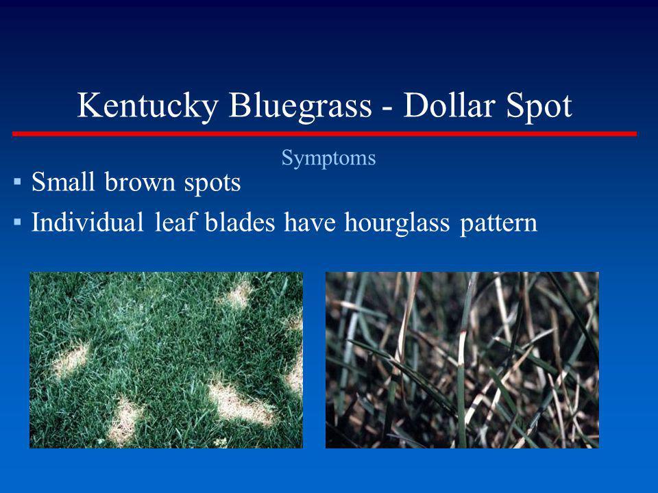 Kentucky Bluegrass - Dollar Spot