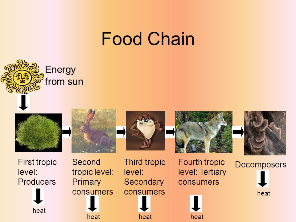 Food Chain Energy from sun First tropic level: Producers