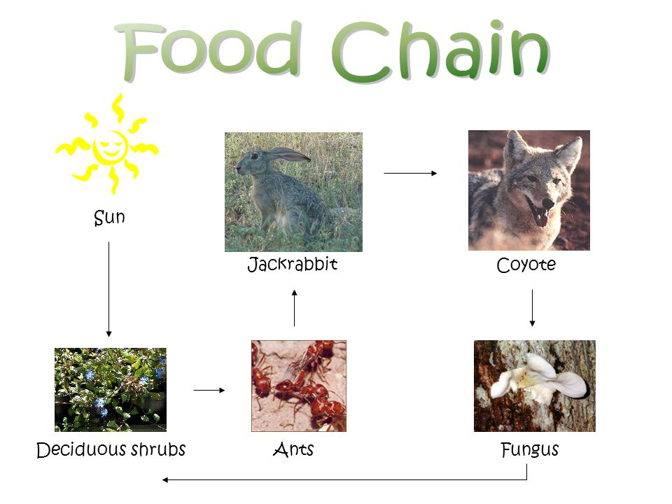 Food Chain Sun Jackrabbit Coyote Deciduous shrubs Ants Fungus