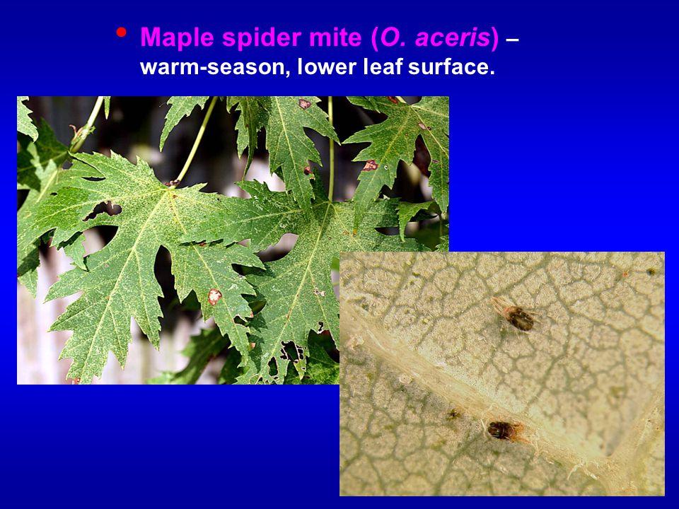 Maple spider mite (O. aceris) – warm-season, lower leaf surface.