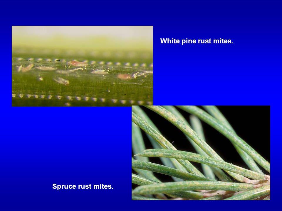 White pine rust mites. Spruce rust mites.