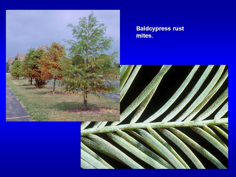 Baldcypress rust mites.
