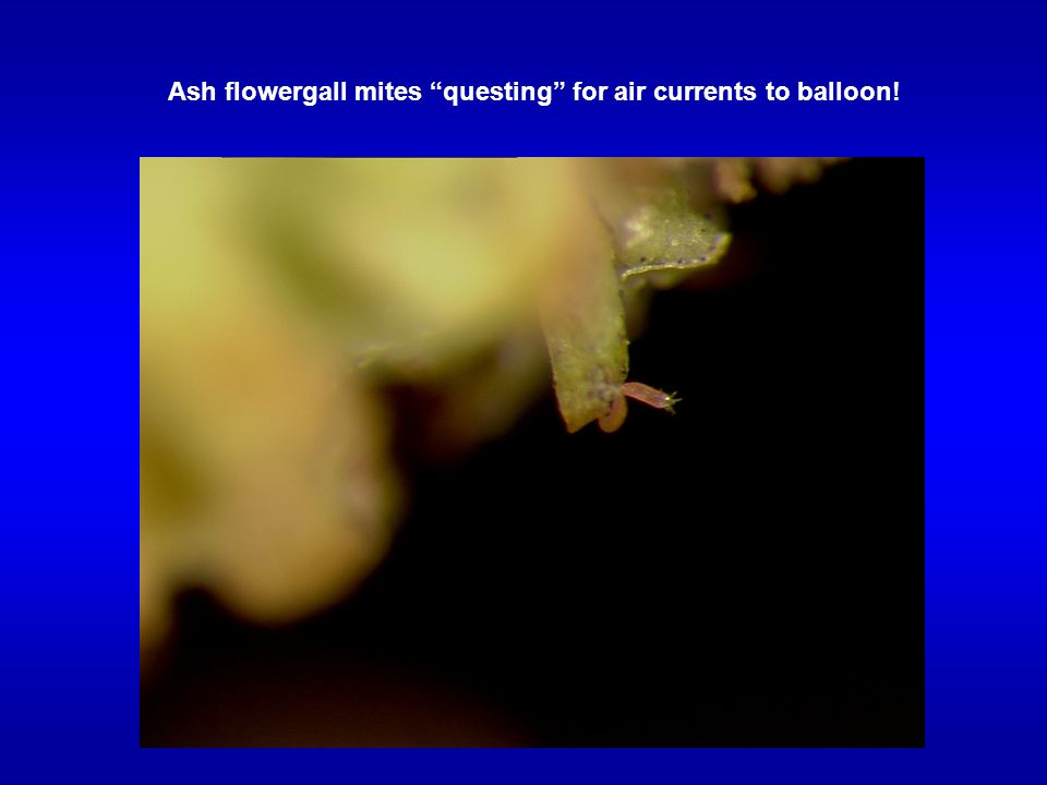 Ash flowergall mites questing for air currents to balloon!