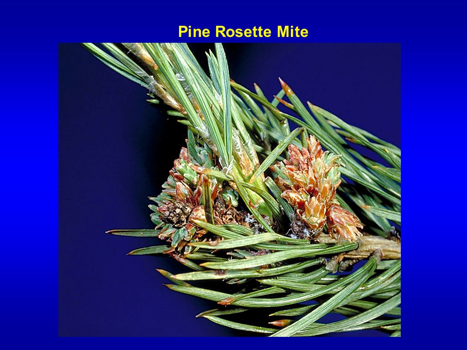 Pine Rosette Mite