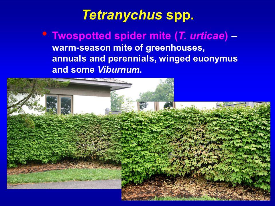 Tetranychus spp. Twospotted spider mite (T.