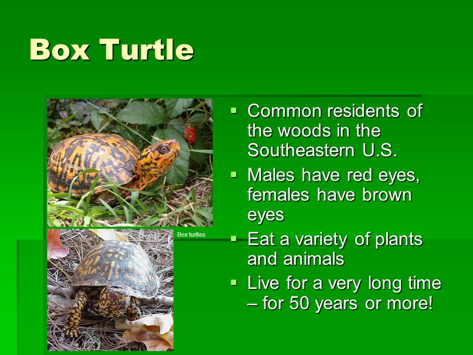 Box Turtle Common residents of the woods in the Southeastern U.S.
