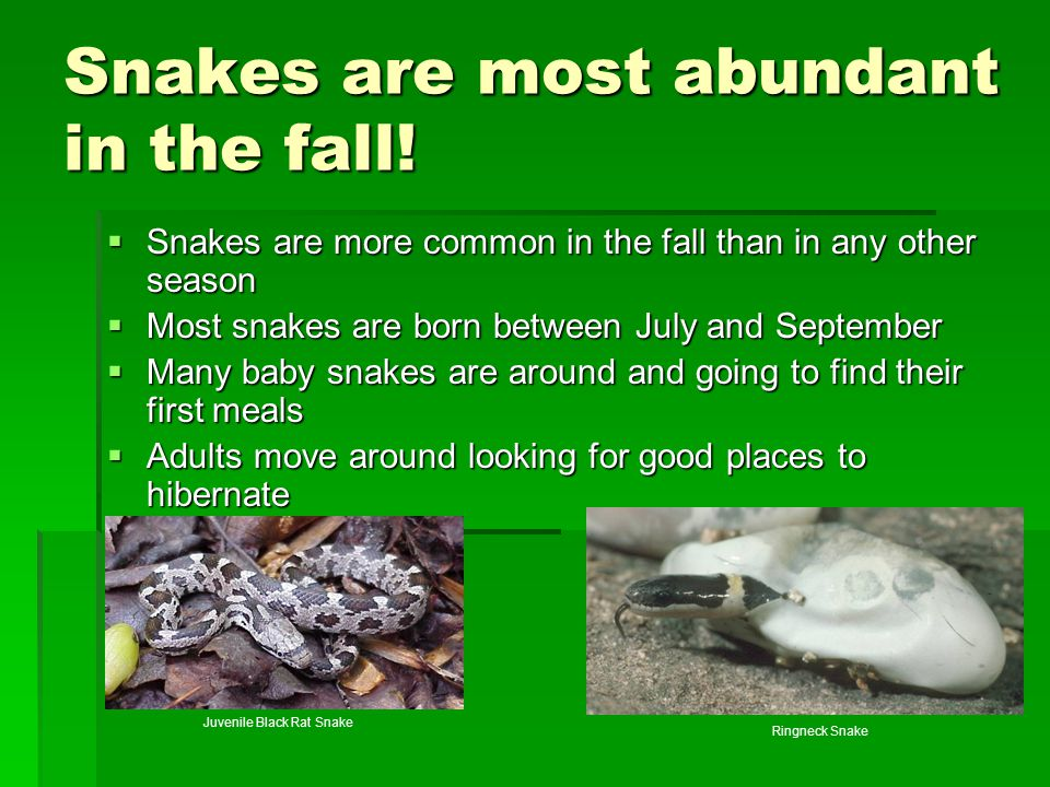 Snakes are most abundant in the fall!