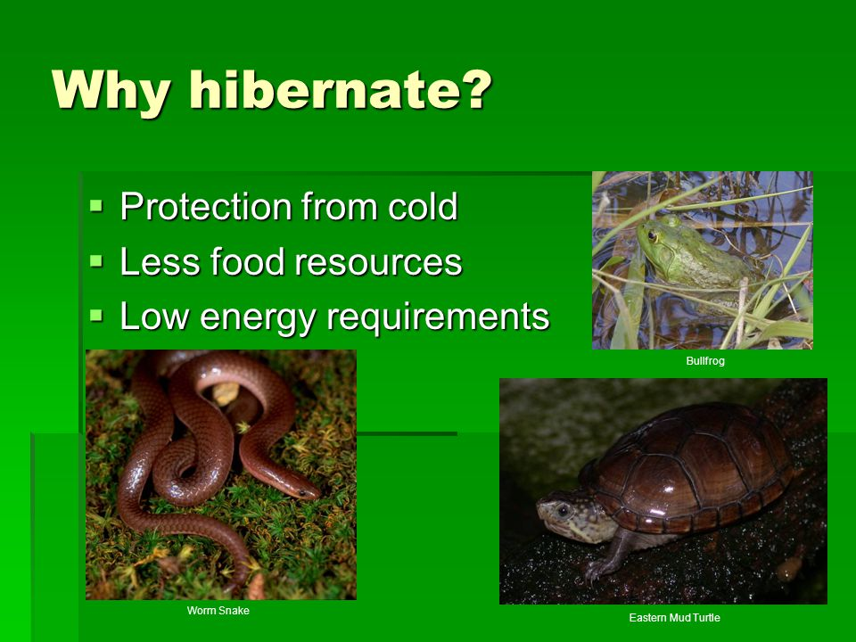 Why hibernate Protection from cold Less food resources