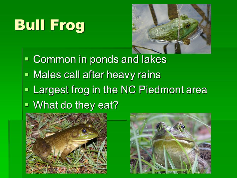 Bull Frog Common in ponds and lakes Males call after heavy rains
