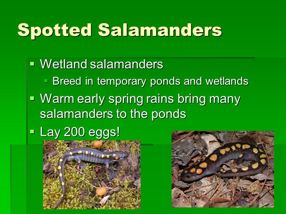 Spotted Salamanders Wetland salamanders