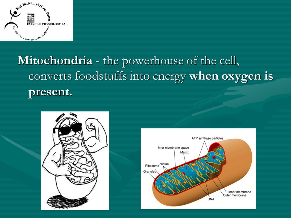 Mitochondria - the powerhouse of the cell, converts foodstuffs into energy when oxygen is present.