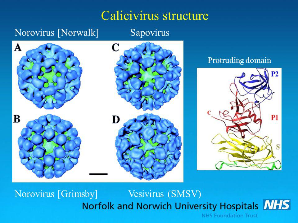 Calicivirus structure