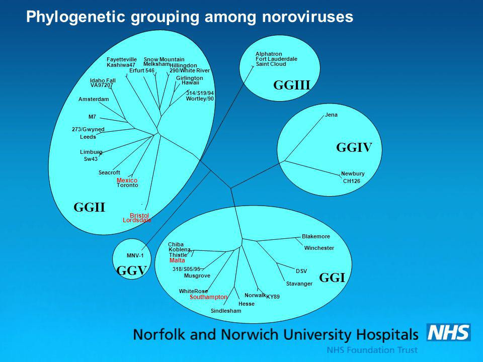 Phylogenetic grouping among noroviruses