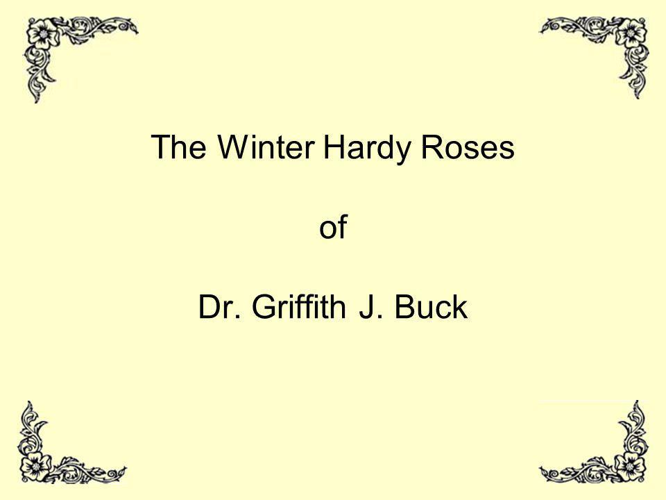 The Winter Hardy Roses of Dr. Griffith J. Buck