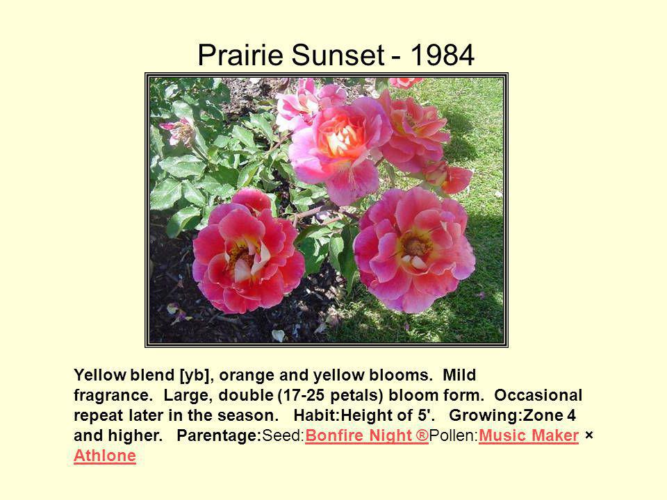 Prairie Sunset - 1984 The rose changes color as it opens and finishes red so Buck gave it an appropriate name.