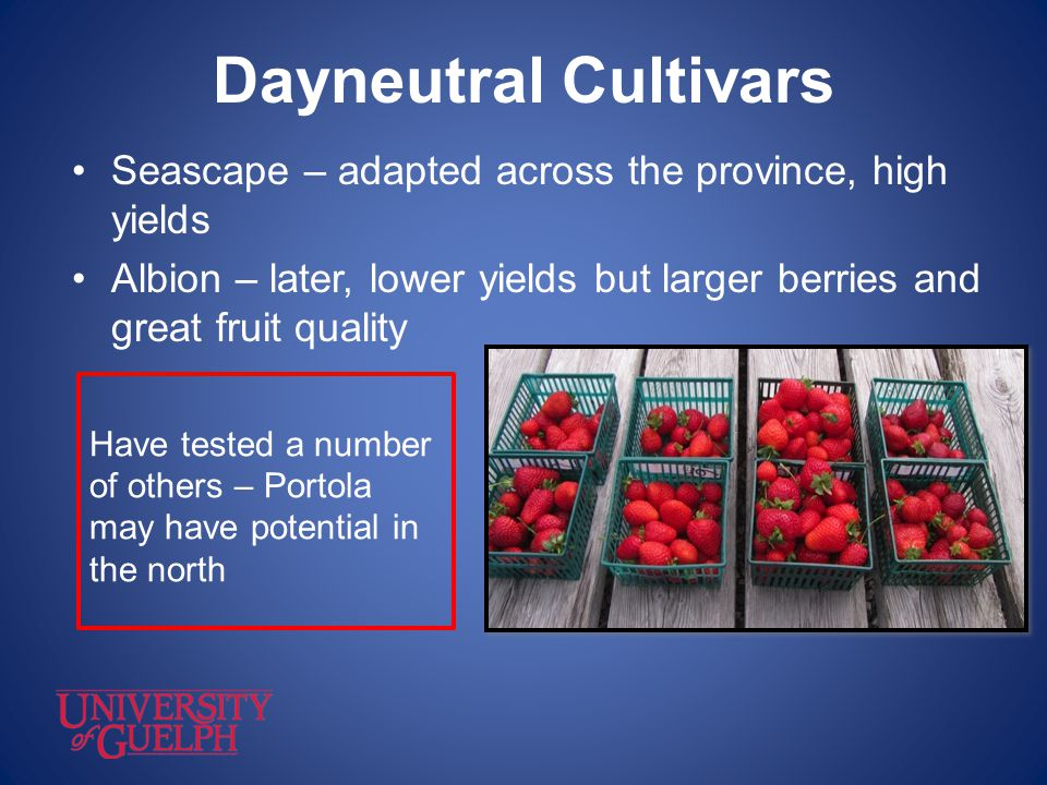 Dayneutral Cultivars Seascape – adapted across the province, high yields. Albion – later, lower yields but larger berries and great fruit quality.