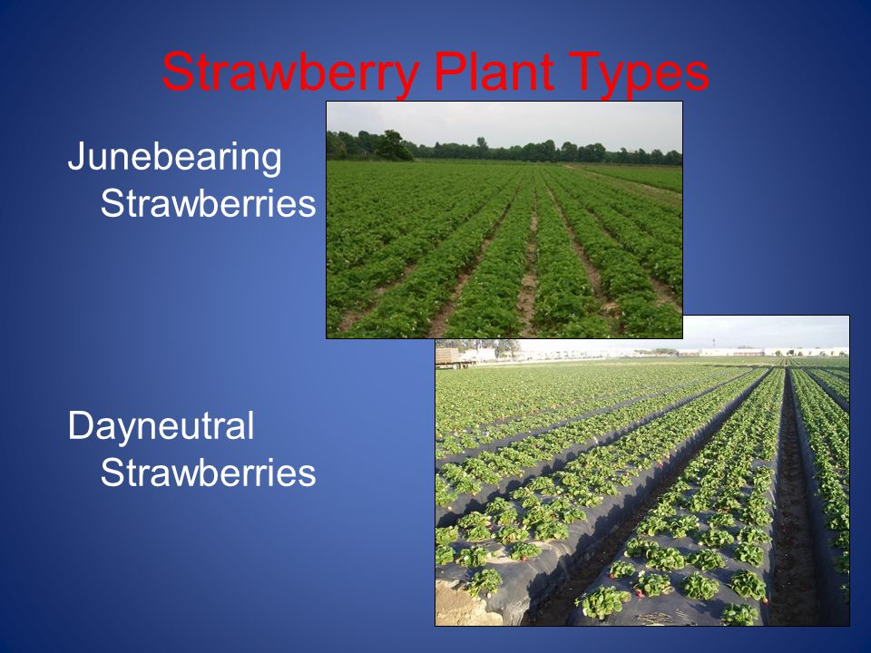 Strawberry Plant Types