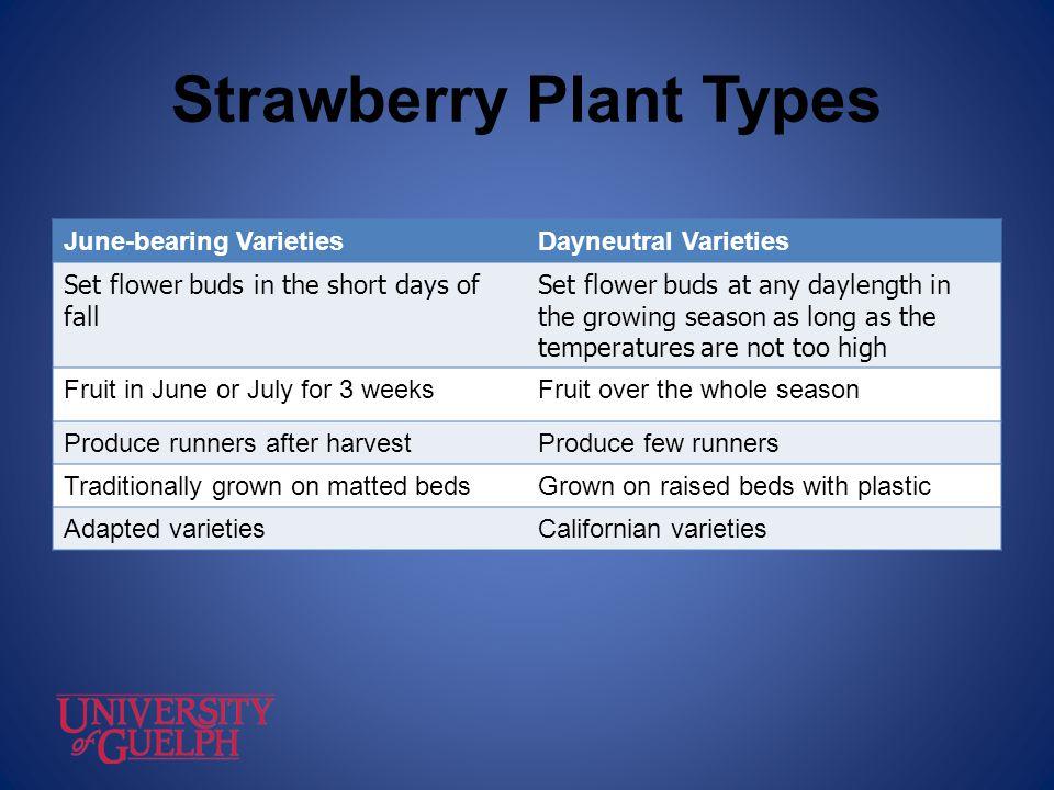 Strawberry Plant Types