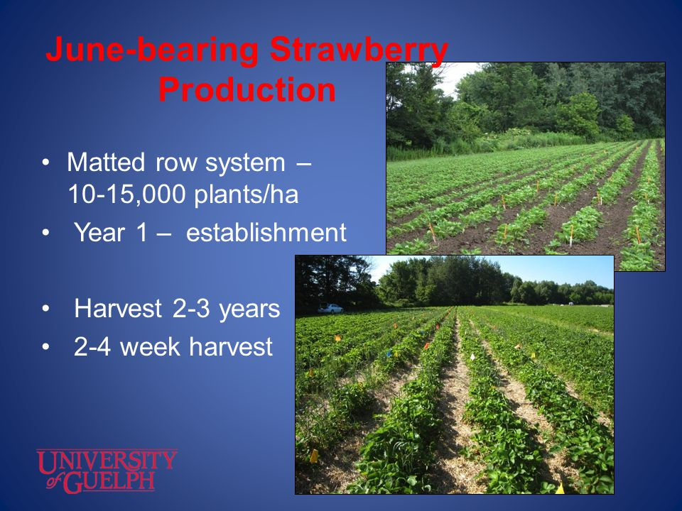 June-bearing Strawberry Production