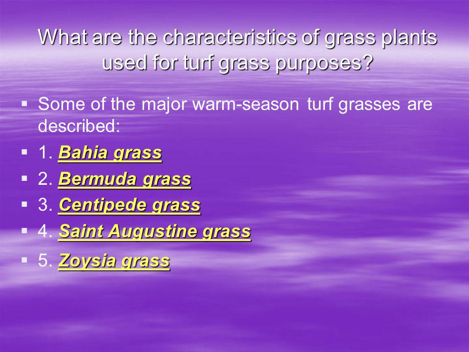 What are the characteristics of grass plants used for turf grass purposes