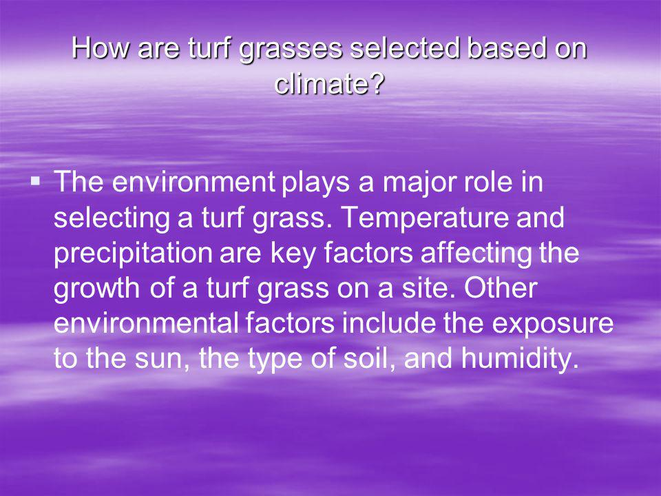 How are turf grasses selected based on climate