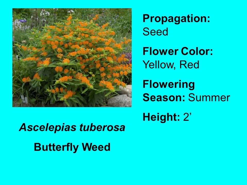 Propagation: Seed Flower Color: Yellow, Red. Flowering Season: Summer. Height: 2' Ascelepias tuberosa.