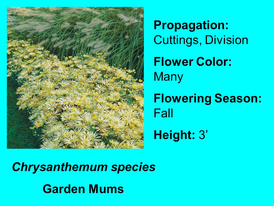 Chrysanthemum species