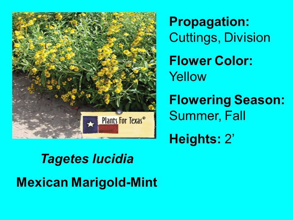 Mexican Marigold-Mint