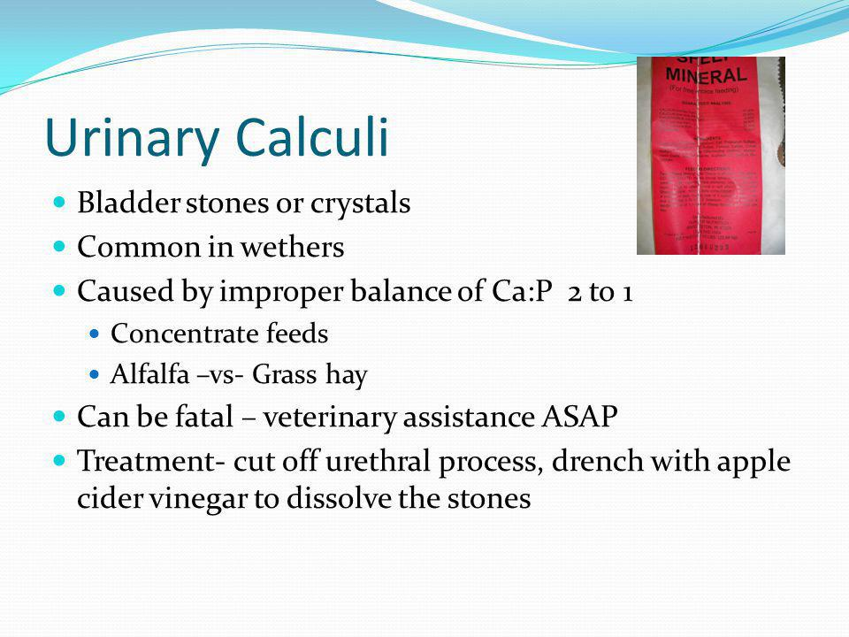 Urinary Calculi Bladder stones or crystals Common in wethers