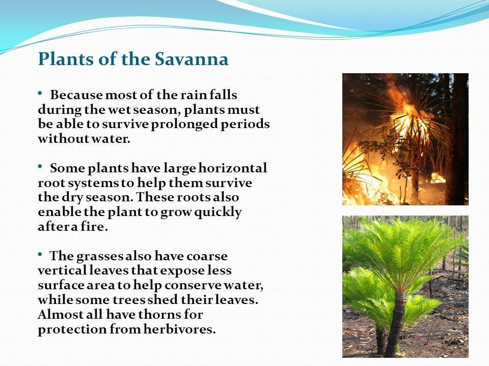 Plants of the Savanna Because most of the rain falls during the wet season, plants must be able to survive prolonged periods without water.
