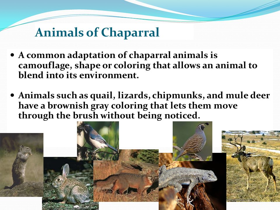 Animals of Chaparral A common adaptation of chaparral animals is camouflage, shape or coloring that allows an animal to blend into its environment.