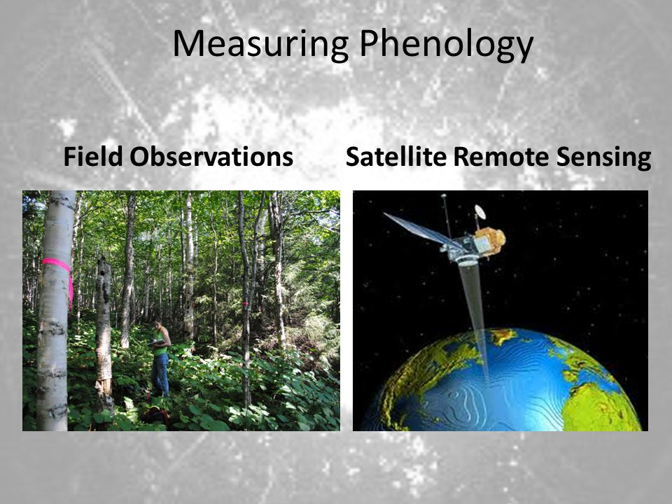 Measuring Phenology Field Observations Satellite Remote Sensing