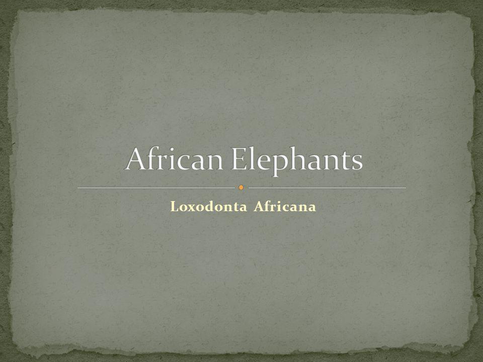 African Elephants Loxodonta Africana