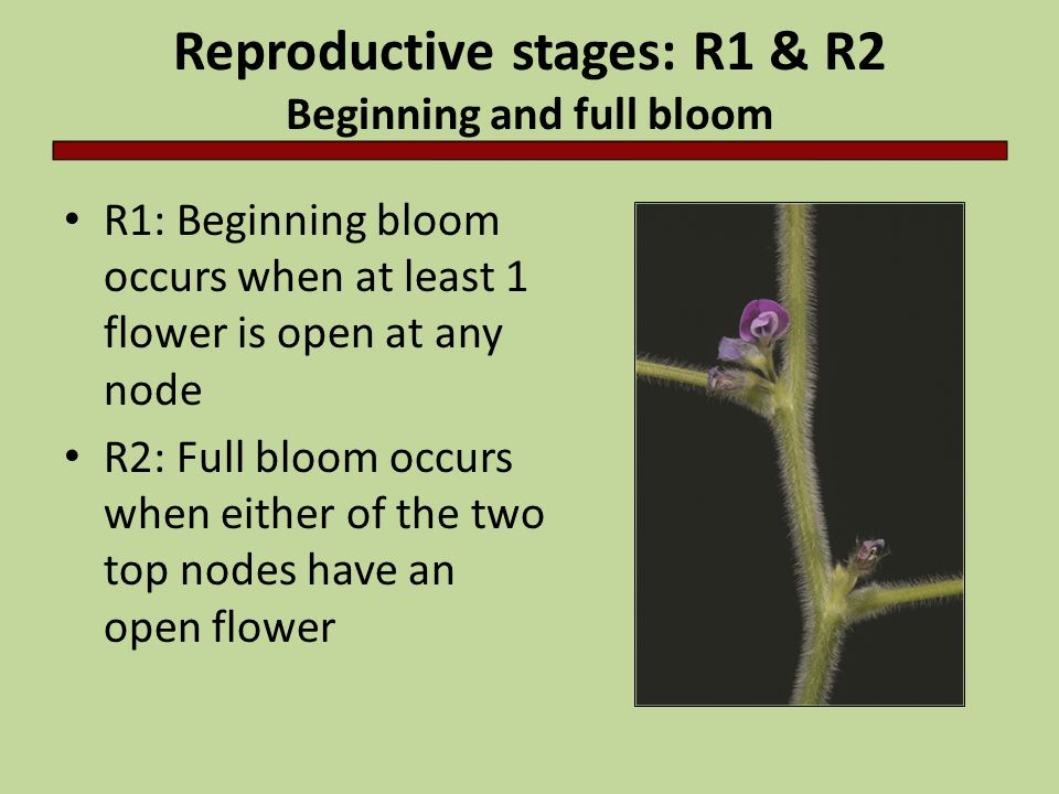 Reproductive stages: R1 & R2 Beginning and full bloom