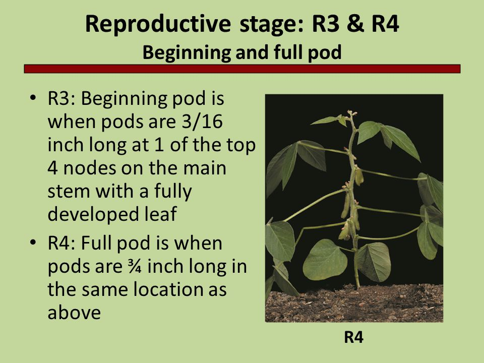 Reproductive stage: R3 & R4 Beginning and full pod