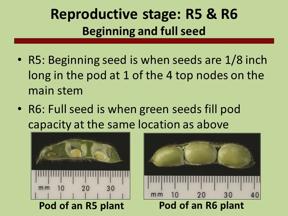Reproductive stage: R5 & R6 Beginning and full seed
