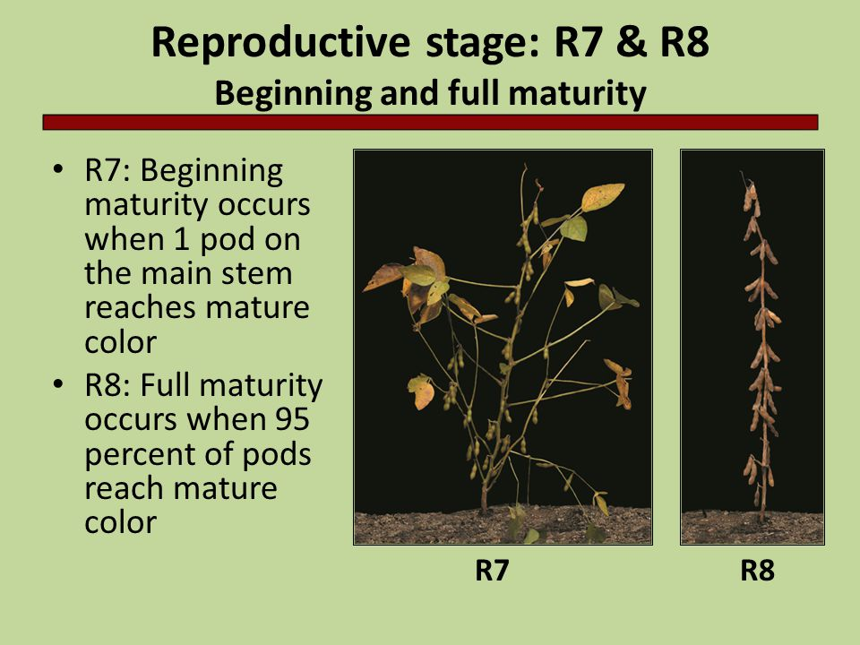 Reproductive stage: R7 & R8 Beginning and full maturity