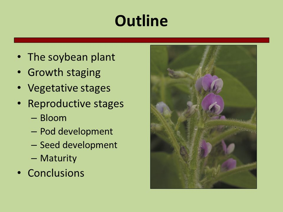 Outline The soybean plant Growth staging Vegetative stages