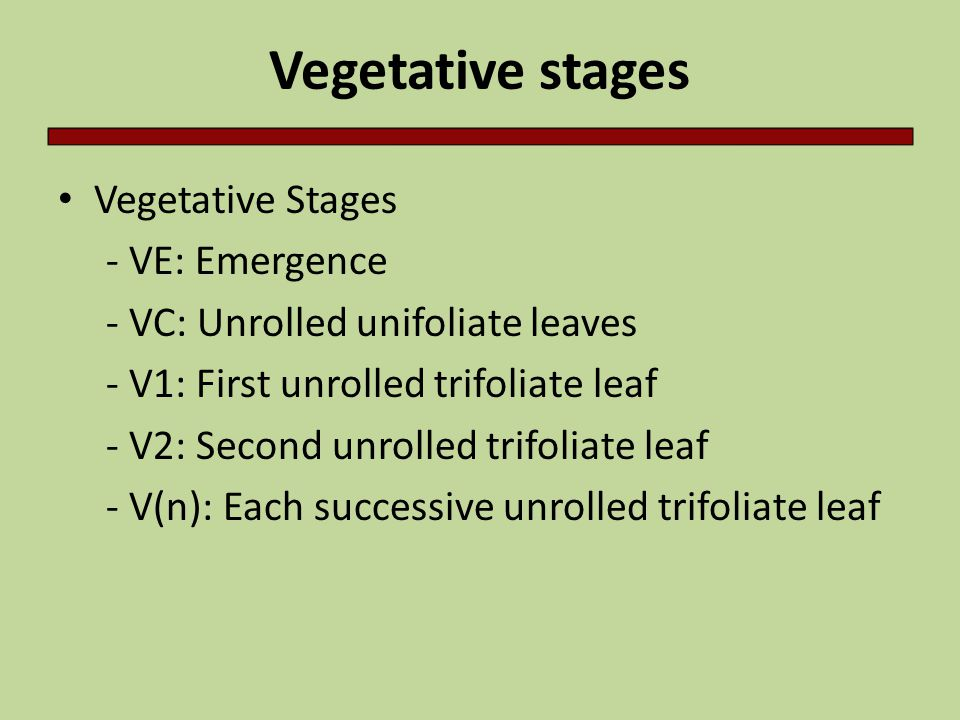 Vegetative stages Vegetative Stages - VE: Emergence